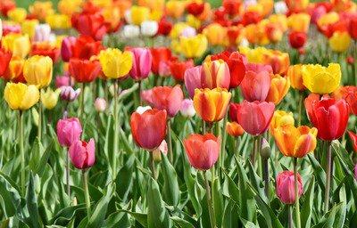 tulips-3359902_1920.jpg